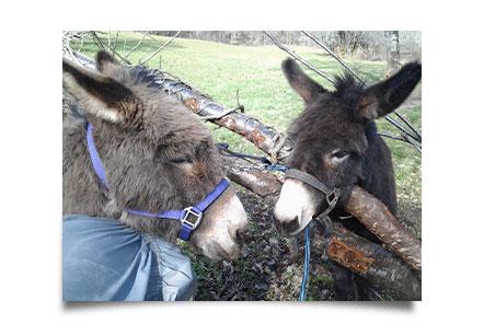 Vanille et Bambou les ânes