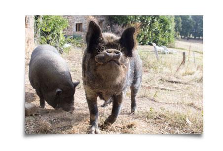 Gorgon le cochon et cochonette