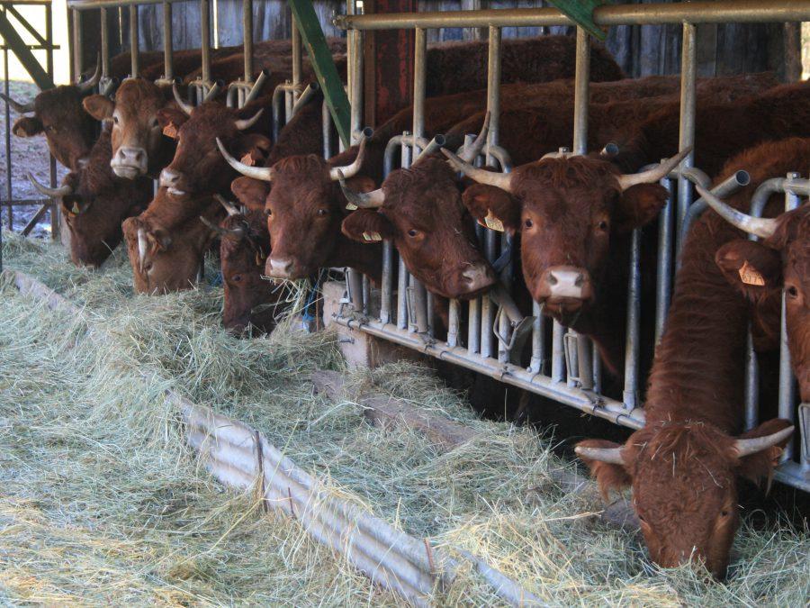 les vaches mangeant du foin