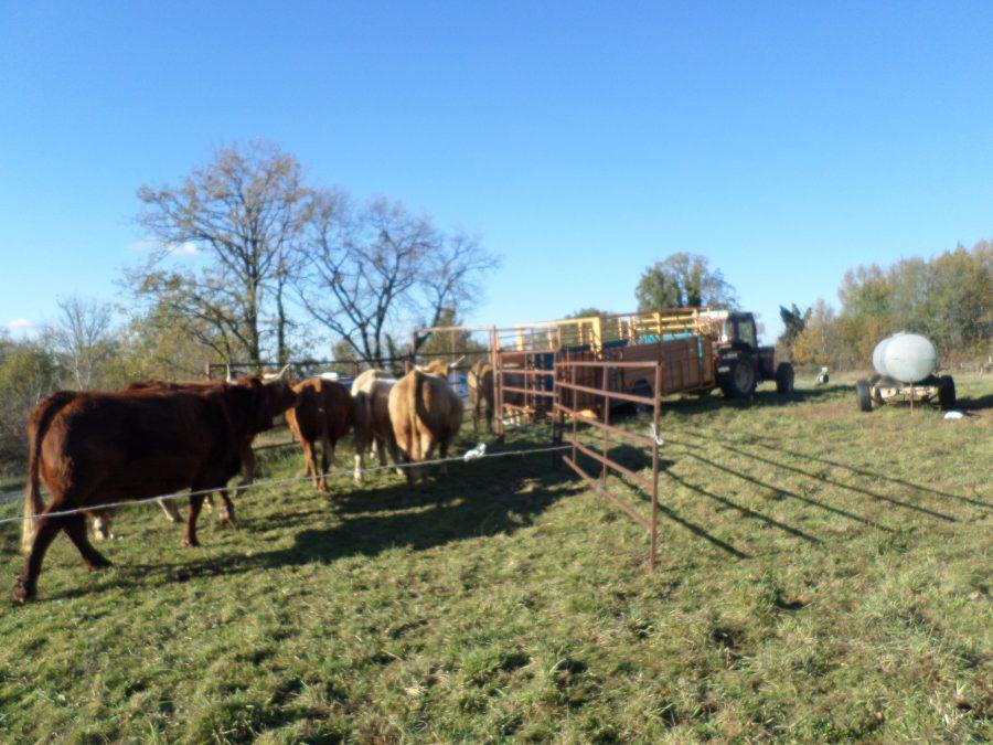 démenagement des vaches