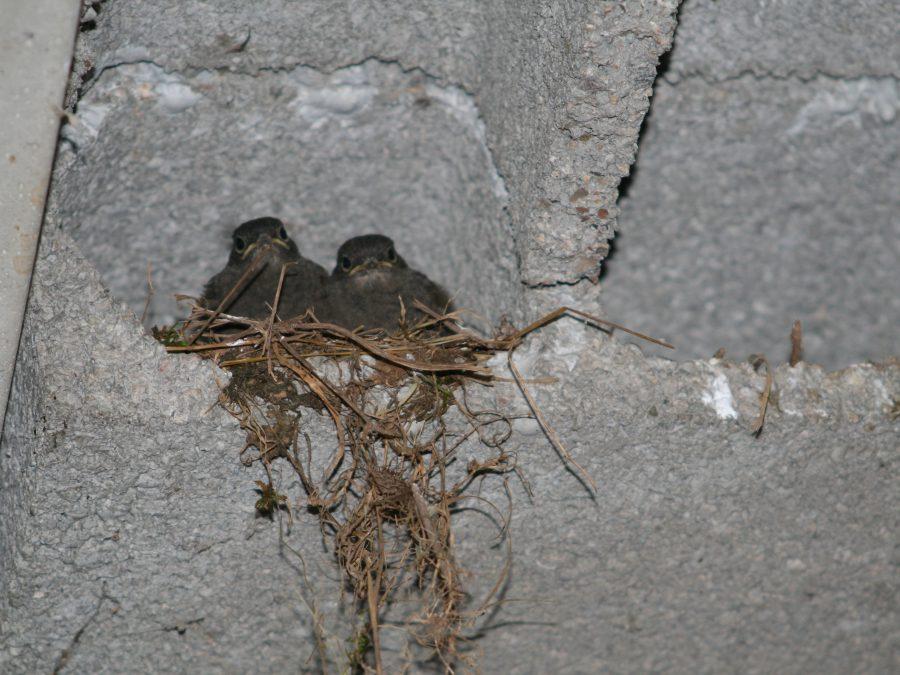 des oiseaux dans leur nid