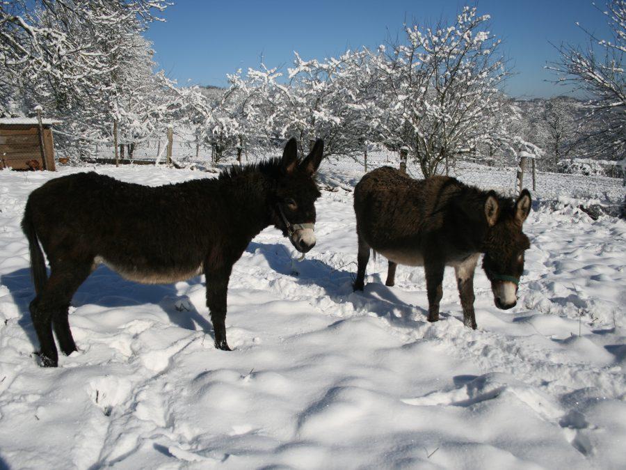 les ânes dans la neige