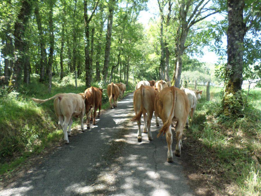 les vaches démenagent